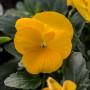 Viola pansè cornuta gialla