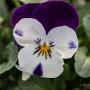 Viola pansè cornuta bicolore
