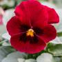 Viola pansè rosso