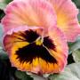 Viola pansè acquarello